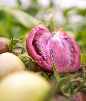 ces tomates violettes contiennent des antioxydants favorisant la prévention du