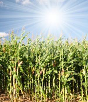 ce maïs résistant au manque d'eau baptisé wema est cofinancé par la fondation