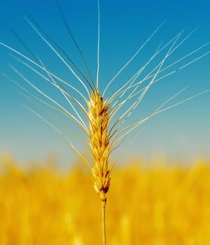 le blé est la deuxième céréale la plus cultivée au monde et son rendement tend à