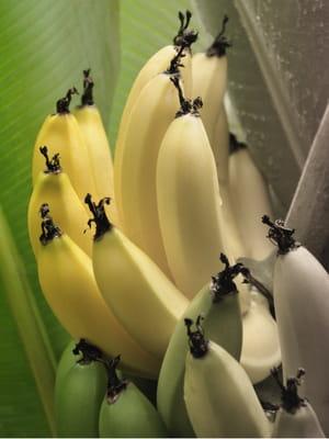 la banane cavendish, que l'on croyait résistante aux maladies, est à son tour