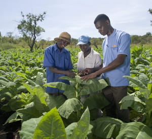 dans une plantation de tabac de bat en ouganda.