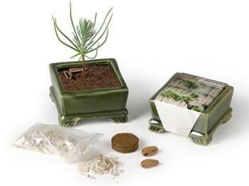 un mini-bonsaï à planter et à regarder pousser.