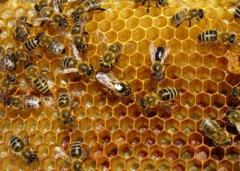 la disparition des abeilles une catastrophe pour l 39 agriculture objets technologies m tiers. Black Bedroom Furniture Sets. Home Design Ideas