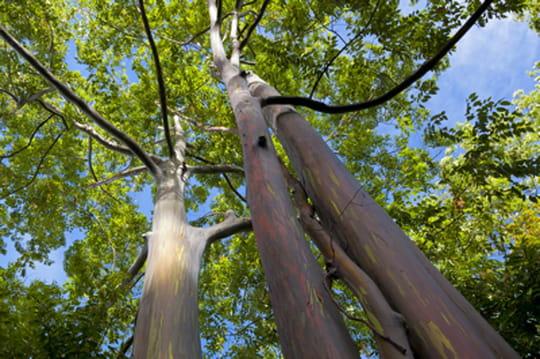 Et maintenant des arbres ogm qui poussent 20 plus vite for Arbre qui pousse tres vite
