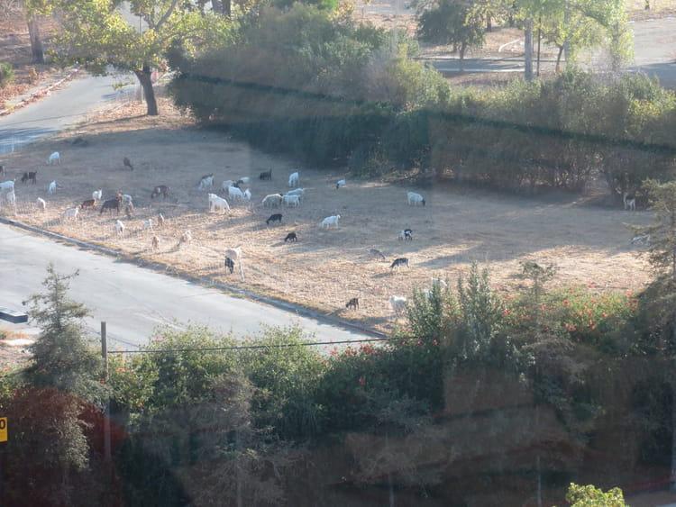 Des chèvres tout près du campus