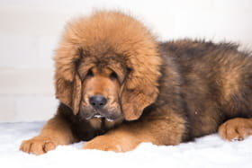 mastiff tibetain
