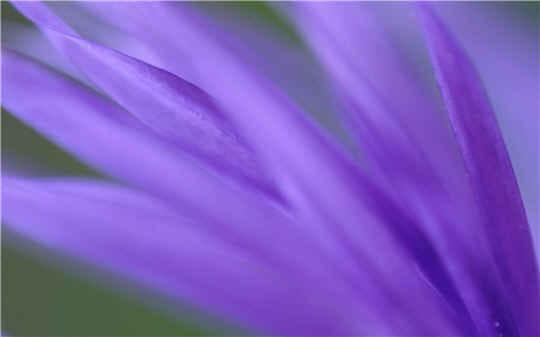Feuille violette